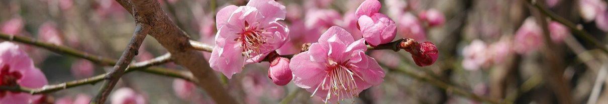 Sakura Japonska