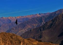 Kondor v dolini Colce