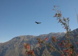 Treking po kanjonu COlca in mogočni kondorji