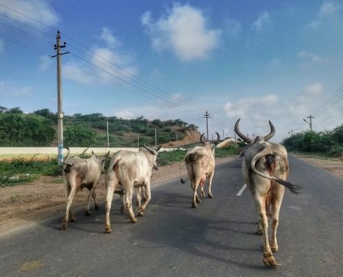 Svete krave v Indiji