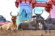 Svete krave in Šiva
