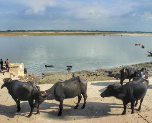Sveta krava in Ganges