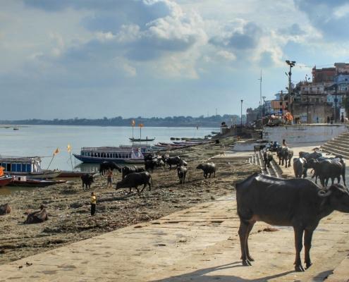 Svete krave v svetem Varanasiju