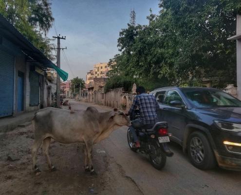 Svete krave na indijskih ulicah