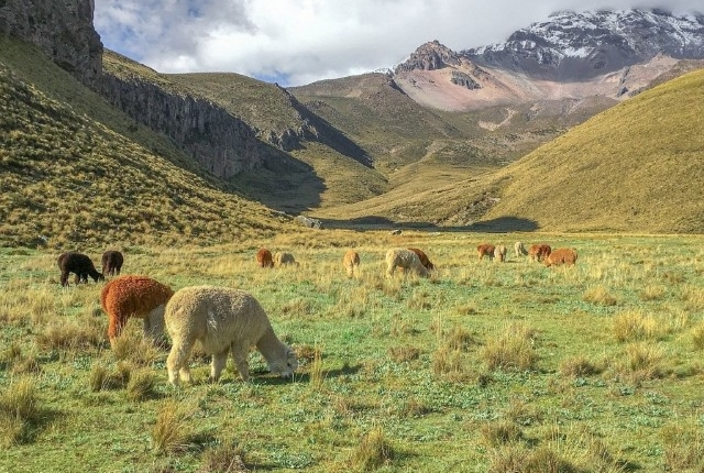 Alpake v Ekvadorju