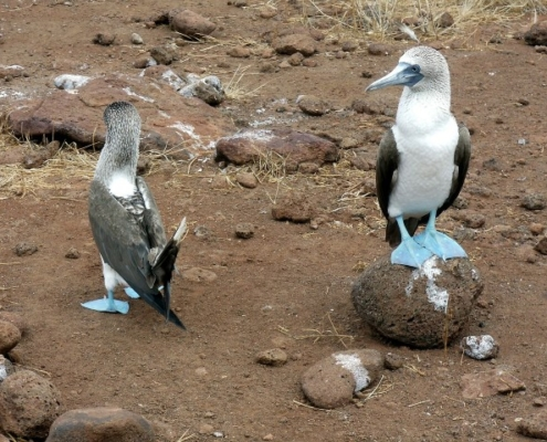 Modronogi strmoglavec-Galapagos