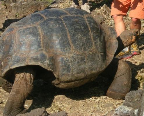 Želva velikanka na Galapagosu