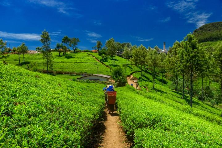 Čajna polja, Šrilanka