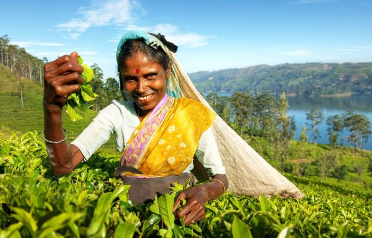 Obiralka čaja, Šrilanka