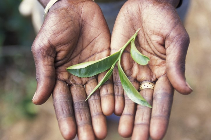 Cejlonski čaj, Samsara potovanja
