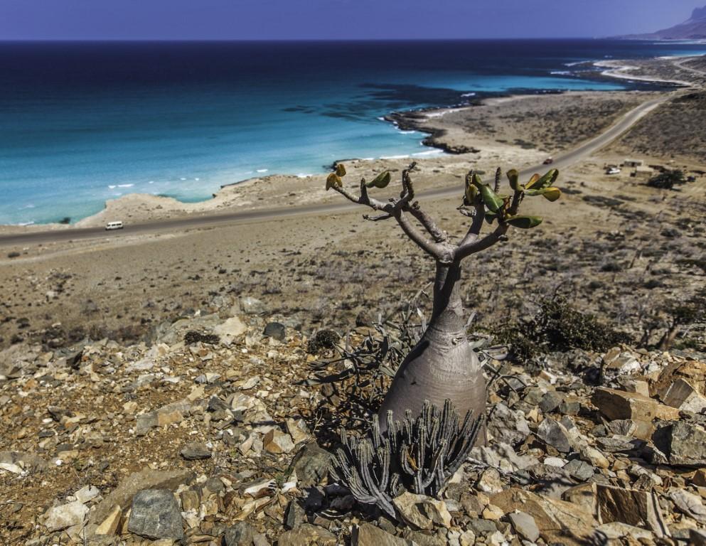 Adenium obesum - endemično drevo na Sokotri