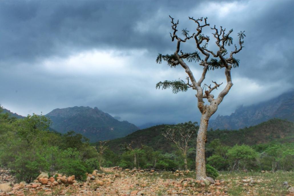 drevo Frankinsense, Sokotra
