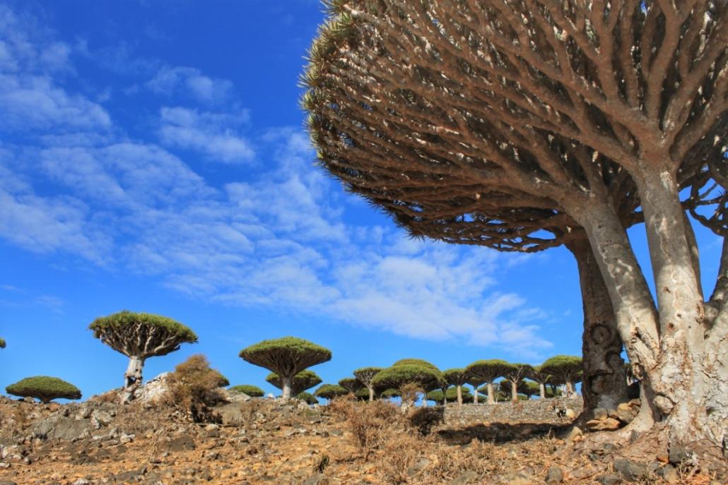 Drevesa zmajeve krvi, Sokotra